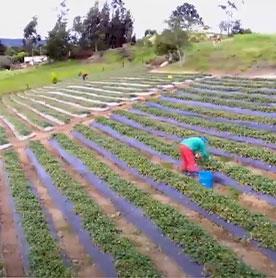 Testimonial Agricultores de Fresa Pablo Sua – Tibasosa Boyacá